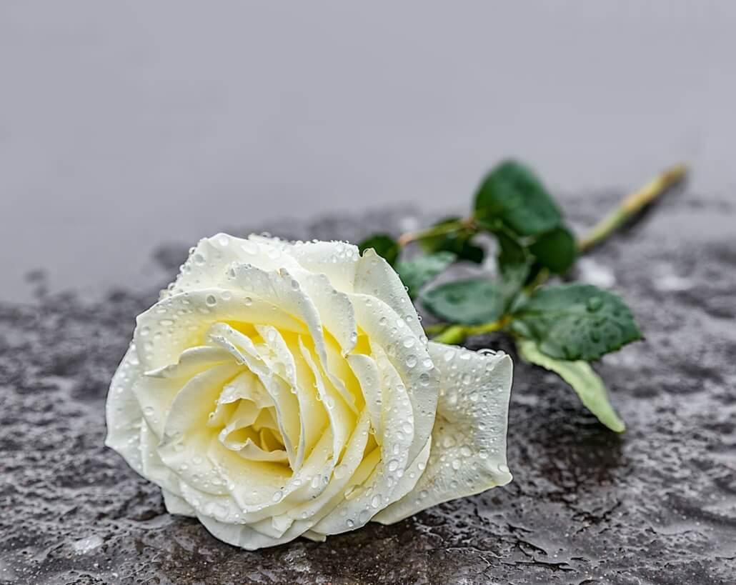 Rose für Trauerzeremonie